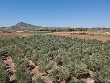 Plot of land with olive trees in Caudete